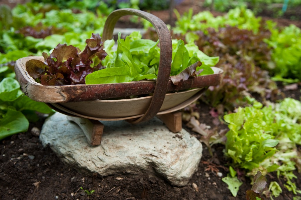 The ultimate reward of the salad lover's garden.