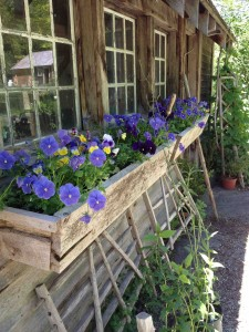 pansies in front of the potting shed