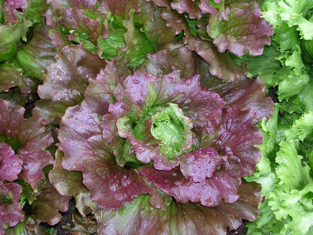 Red Head Lettuce