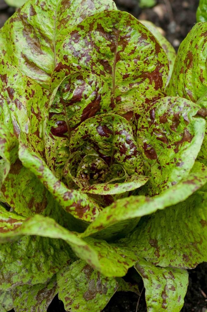 Troutback Lettuce